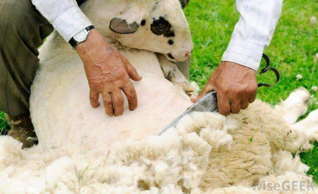 man-shearing-sheep-of-wool